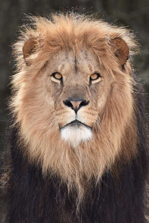 Closeup portrait of the beautiful male Lion from the front