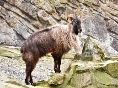 Himalayan tahr resting in rocks in int habitat