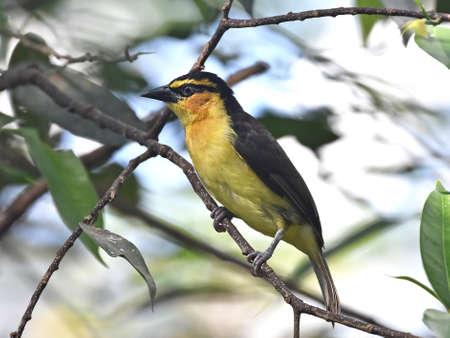 necked: Zwarte hals wever rustend op een tak in zijn habitat Stockfoto