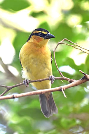 necked: Black necked weaver resting on a branch in its habitat