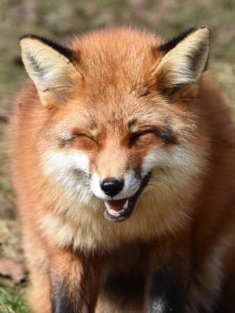正面から見て笑って赤狐のポートレート、クローズ アップ