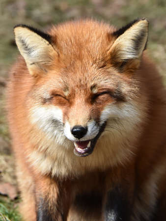 Closeup portrait of the Red fox laughing seen from the front