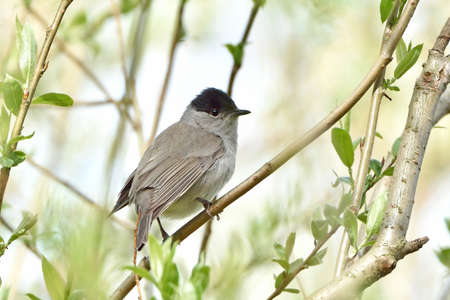 eurasian: Eurasian blackcap resting on a branch in its habitat