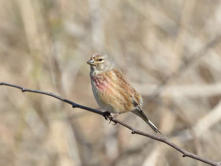 Common Linnet resting on a branch in its natural habitat photo