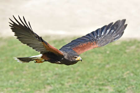 Harris hawk in flight with green grass in the background