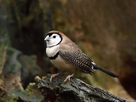 barred: Double barred finch resting on a branch in its habitat Stock Photo