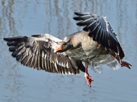 greylag: Greylag Goose in flight with blue water in the background Stock Photo