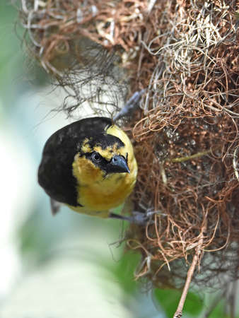 necked: Black necked weaver hanging from the of its nest Stock Photo