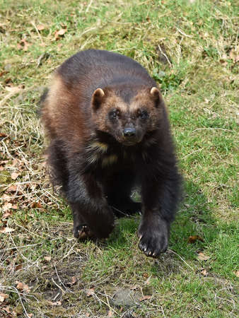 wolverine: Wolverine running towards the camera with grass in the background