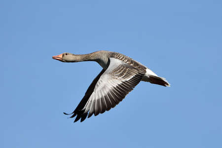 greylag: Greylag Goose in flight with blue skies in the background Stock Photo