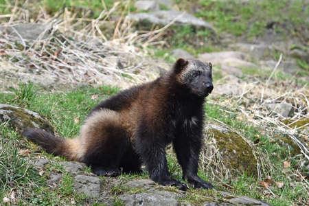 wolverine: Wolverine sitting in the sun its natural habitat