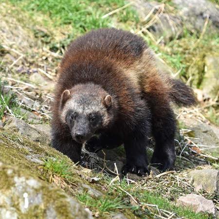 wolverine: wolverine walking around in its natural habitat