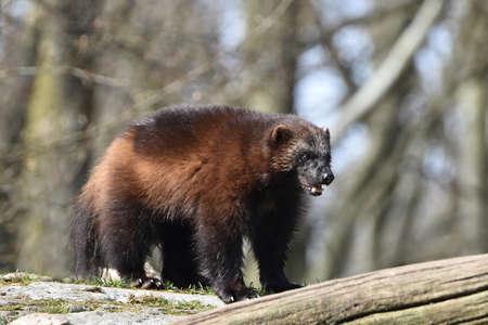 habitat: Wolverine standing in the sun its natural habitat