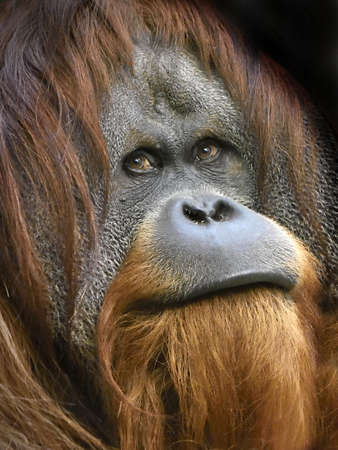 sumatran: Closeup portrait of the endangered male Sumatran orangutan