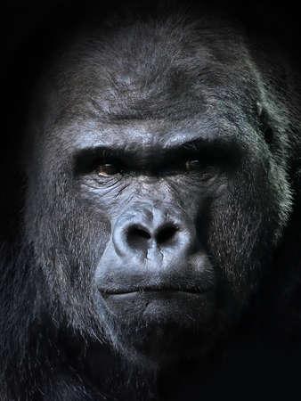 Closeup portrait of the endangered male Western gorilla