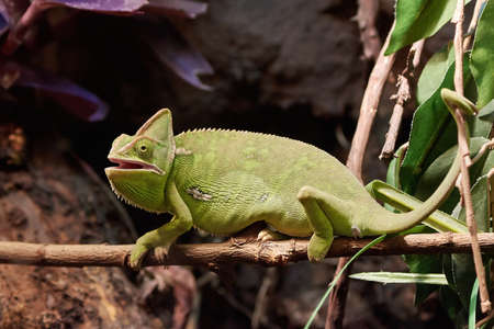veiled: Veiled chameleon resting on a branch in its habitat Stock Photo