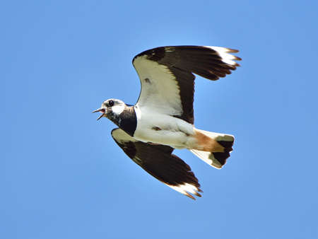 lapwing: Northern Lapwing in flight with open mouth and blue skies in the background Stock Photo