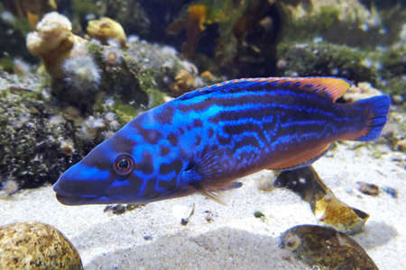 wrasse: Closeup of the Cuckoo wrasse in its natural habitat
