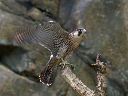 peregrine: Peregrine falcon with motion blur on its wings landing on a branch