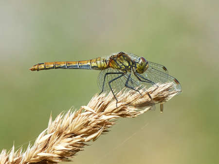 vagrant: Vagrant darter resting on a plant in its natural habitat Stock Photo