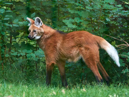 red animal: Maned wolf walking around in its habitat