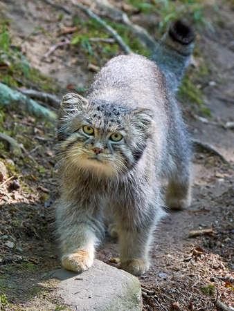 pallas: Pallass cat walking around in its habitat looking in the camera Stock Photo