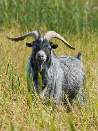 landrace: Dan�s cabra Landrace visto desde la posici�n frontal en un entorno natural