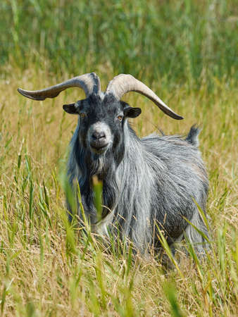 landrace: Danish Landrace goat seen from the front standing in natural surroundings