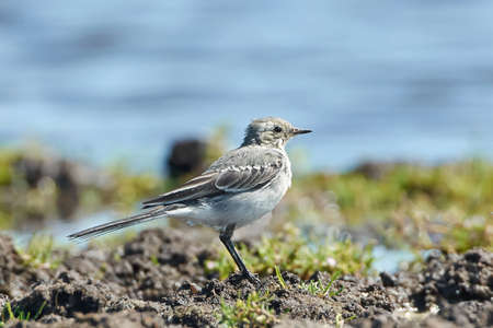 habitat: Juvenile White Wagtail resting on the ground in its habitat. Stock Photo