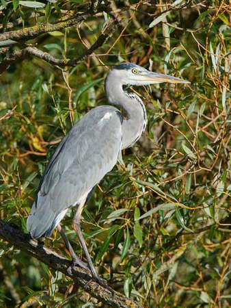 habitat: Grey Heron resting on a branch on its habitat