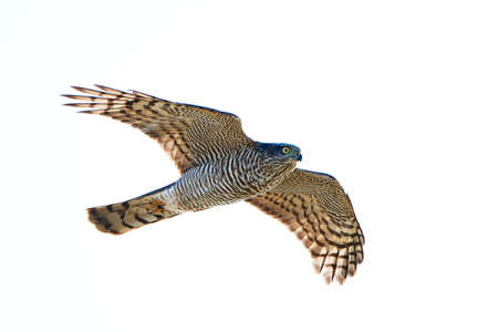 sparrowhawk: Eurasian Sparrowhawk in flight isolated on white