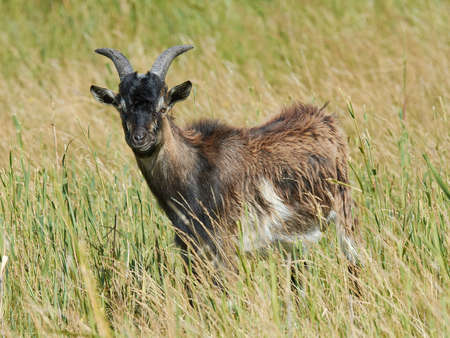landrace: Danish Landrace goat seen from the side standing in natural surroundings Stock Photo