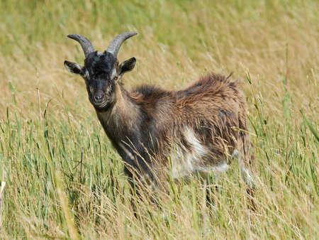 landrace: Danish Landrace goat seen from the side standing in natural surroundings Stock Photo