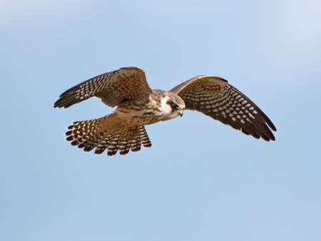 赤足、背景に青い空を飛行中ファルコン 写真素材