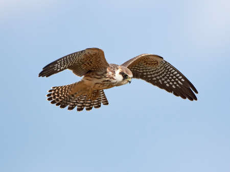 falcon: Red footed falcon in flight with blue skies in the background