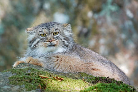 habitat: Pallass cat resting in its habitat looking in the camera