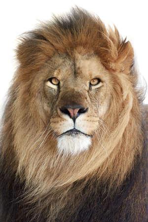 ve: Closeup portrait of the beautiful male Lion