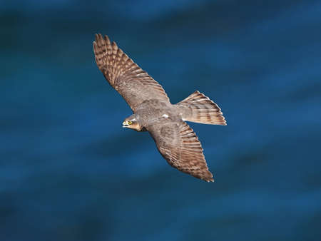 sparrowhawk: Eurasian sparrowhawk seen from above with the blue ocean in the background Stock Photo