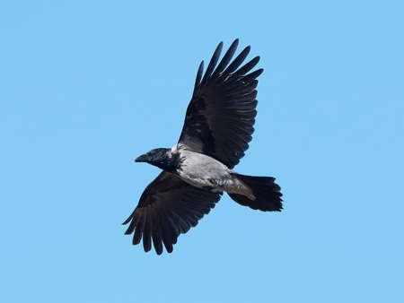 cuervo: Cuervo encapuchado en vuelo con un cielo azul en el fondo
