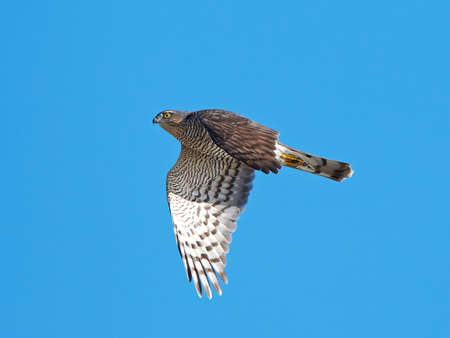 sparrowhawk: Eurasian sparrowhawk in flight with blue skies in the background