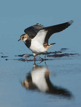 water wings: Northern Lapwing standing in water with open wings