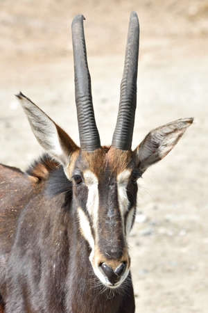 sable: Closeup portrait of a Sable Antelope seen from the front