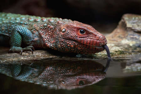 caiman: Closeup image of a Northern caiman lizard drinking water Stock Photo