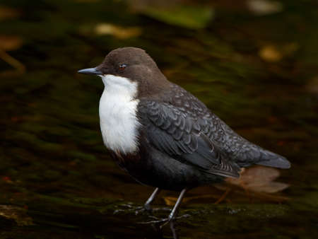 dipper: White throated dipper standing in water in its habitat