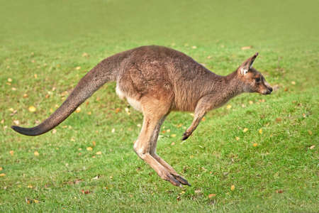 Eastern grey kangaroo jumping in grass in its habitat