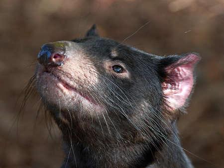 tasmanian: Closeup portrait of a black Tasmanian Devil