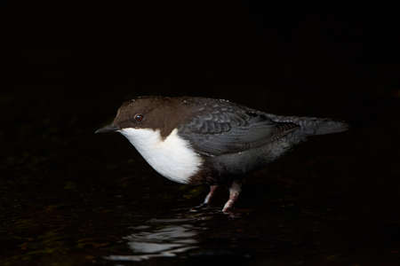 brown throated: White throated dipper standing in water in its habitat