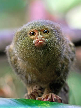 marmoset: Closeup portrait of a Pygmy marmoset seen from the front