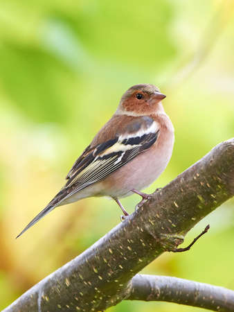 int: Chaffinch resting on a branch int its habitat