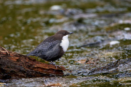 brown throated: White throated dipper resting on a tree trunk in its habitat